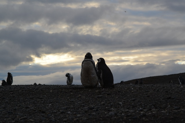 Magellenic Penguins in Isla Magdalena
