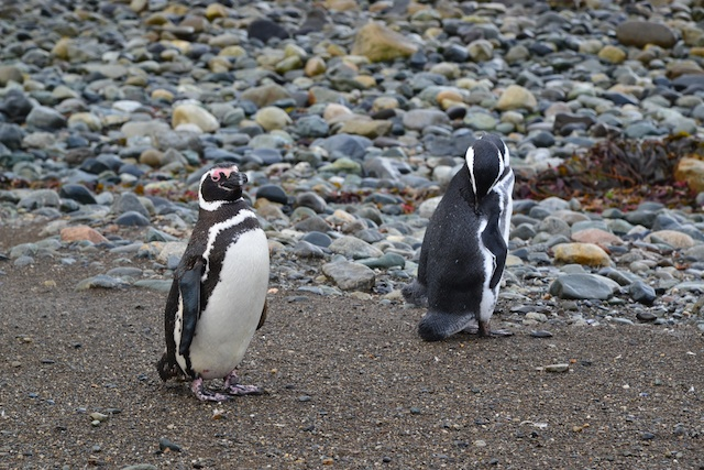 Two Magellenic penguins