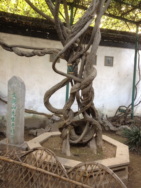 The 460 year old tree