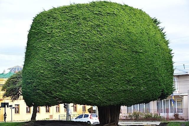 Manicured tree in Punta Arenas