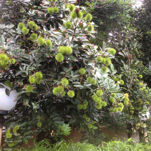 A rambutan tree filled with unripe fruits