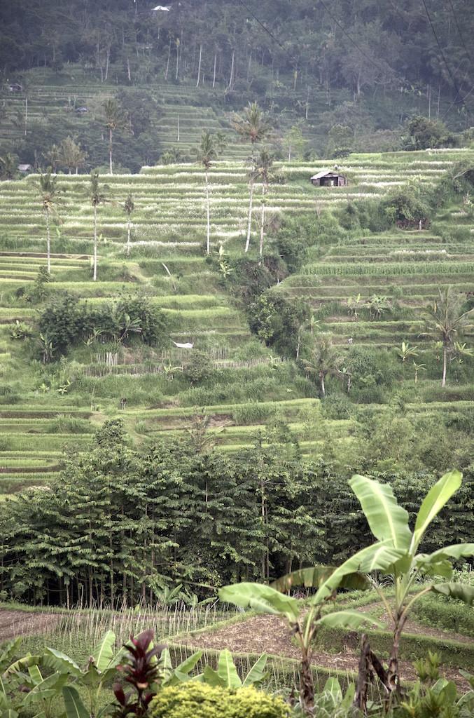Tabanan rice terrace