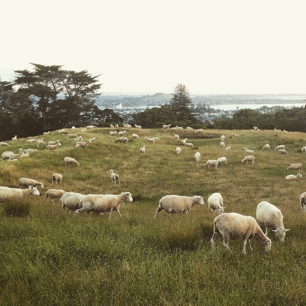 Walk up to the summit of One Tree Hill, enjoy the view and take photos of the 'natural lawn mowers' - sheep of New Zealand.