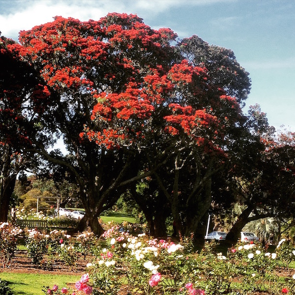 The iconic Pohutukawa tree, the New Zealand Christmas Tree at Parnell Rose Garden.