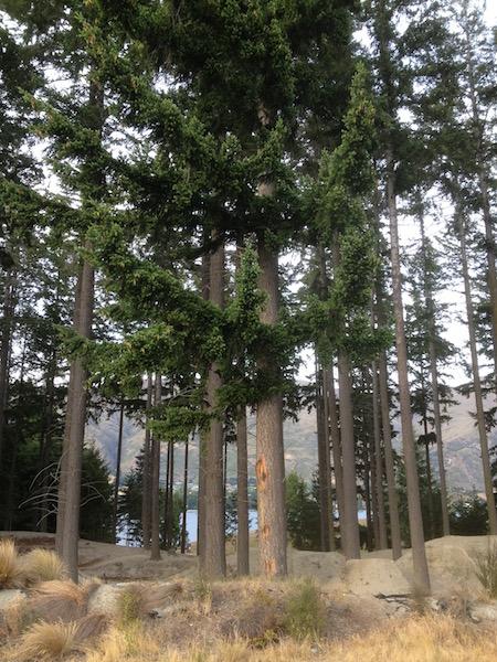 The neighborhood trees in Lake Wanaka