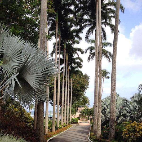 Royal palm trees at the Fairmont Royal Pavilion Barbados